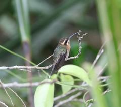 Minute Hermit (andy w taylor) Tags: hummingbird hermit minute brazil endemic neotropics phaethornisidaliae
