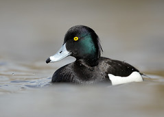 Tufted Duck Aythya fuligula (Iain Leach) Tags: birdphotography wildlifephotography photograph image wildlife nature iainhleach wwwiainleachphotographycom canon canoncameras photography canon1dx canon5dmk3 beauty beautiful beautyinnature macro macrophotography closeup tuftedduck aythyafuligula duck wildfowl waterfowl waterbird divingduck water attenborough november 2016