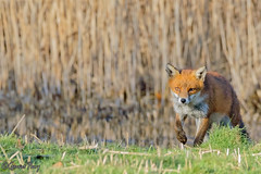 Fox (parry101) Tags: cardiff whitchurch forest farm south wales fox foxes animal animals vulpes vulpesvulpes red nature wild
