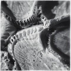 Sea Creature Remains - BW (Firery Broome) Tags: seacreature shell bleached ribs line sand grains bones pattern texture cellphone phonephoto iphone iphone5s externallens aukey macro closeup dof ipad ipaddarkroom apps snapseed blackandwhite blackwhite bw monochrome monochromemonday square nature naturelovers squarenature squareabstract abstract abstractnature iphoneography phoneography iphonenature delawarenature universityofdelaware shells cluster holes artofnature 365