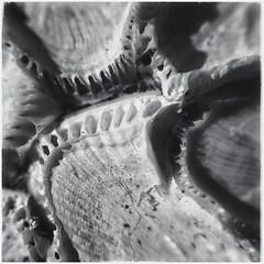 Sea Creature Remains - BW (Firery Broome) Tags: seacreature shell bleached ribs line sand grains bones pattern texture cellphone phonephoto iphone iphone5s externallens aukey macro closeup dof ipad ipaddarkroom apps snapseed blackandwhite blackwhite bw monochrome monochromemonday square nature naturelovers squarenature squareabstract abstract abstractnature iphoneography phoneography iphonenature delawarenature universityofdelaware shells cluster holes artofnature 365