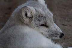 Arctic Fox (Rae of Mad Photography) Tags: fox zoo animals nature soft warm arcticfox arctic white gray grey black sweet nose eyes ears ear eye whiskers coat fur