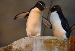 Hey Vern Watch This (thoeflich) Tags: penguin louisvillezoo yellowcreastedrockhopperpenguin