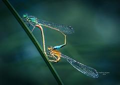 Oops.... busted!!! (Ingeborg Ruyken) Tags: morning macro june juni dawn flickr mating gras libelle damselfly damselflies ochtend facebook bladeofgrass 2015 paren empel natuurfotografie grasspriet grootewiel 500pxs