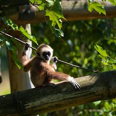 Young white-handed gibbon (andreas lem) Tags: berlin animal germany zoo friedrichsfelde young ape gibbon tierparkberlin whitehandedgibbon largibbon hylobateslar alfredbrehmhaus alfredbrehmhouse