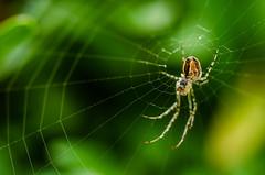 Spider (Tom Zander) Tags: macro nature animal insect spider nikon close bokeh outdoor natur spinne nah nikkor makro 90mm insekt nahaufnahme tier netz closer spinnennetz spinnen tiefenschrfe kanker nher unschraf