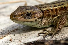 the Portrait (bnq.hendrix) Tags: sun eye posing lizard claw bathing claws lizzy vivipara zootoca