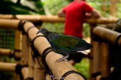 manenduif - Caloenas nicobarica - Nicobar Pigeon (MrTDiddy) Tags: bird zoo pigeon planckendael vogel nicobar duif manen manenduif caloenas nicobarica