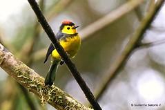 Collared Redstart (Gmo_CR) Tags: bird birds costarica birding birdwatching collaredredstart myioborustorquatus candelitacollareja amigodehombre