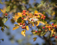 """""""...If only I could change the seasons // Like a poet, I've my reasons..."""" (monorail_kz) Tags: blue autumn sky orange yellow dof blossom september depthoffield foliage bloom kazakhstan almaty hawthorn"""