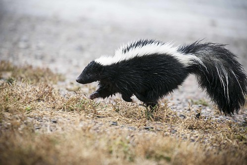 Striped skunk, close, From FlickrPhotos