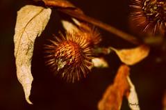 Le coeur le plus sensible  la beaut des fleurs est toujours le premier bless par les pines. (Bouteillerie) Tags: flower macro floral fleur fleurs automne canon garden jardin botanique horticulture environnement agricole vgtal languageofflowers languageofflower bouteillerie automnequbecois