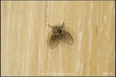 _1X_APSC_04 () Tags: macro canon flickr f e wen wesley mp 28 mm ho dslr f28 animalia arthropoda chen 65 1x diptera 2x  4x insecta mpe 65mm 3x   5x hexapoda pterygota neoptera endopterygota howen  psychodidae  450d nematocera 15x  psychodomorpha albipunctata clogmia  chenhowen   wesleychen  clogmiaalbipunctata psychodoidea