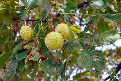 Marronnier commun (Aesculus hippocastanum L., Hippocastanace) (Cletus Awreetus) Tags: france fruit automne marron arbre feuille flore marronnier marrondinde marronnierdinde marronnierblanc