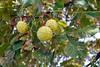 Marronnier commun (Aesculus hippocastanum L., Hippocastanacée) (Cletus Awreetus) Tags: france fruit automne marron arbre feuille flore marronnier marrondinde marronnierdinde marronnierblanc