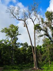 wyanad the big tree (raghphotography) Tags: wyanad raghphotography kerala forest canon ragh 520hs wayanadwildlifesanctuary