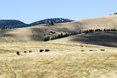 Cows on the Range (Kathy~) Tags: black animals cow hp montana cows scape fc