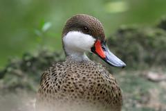 (DhkZ) Tags: zoo duck canon10d bahamas nassau ardastragardens canon135mmf28softfocus