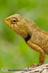 Oriental garden lizard (calotes versicolor) (Sawadee Koh Chang) Tags: nature animal closeup garden thailand reptile lizard oriental kohchang