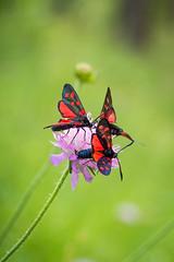 Triple Butinerie (Maxime Bonzi) Tags: photo france queyras vallée flower image arvieux hautes fleur montagne butterfly papillon pics flowers herbe verdoyant herbes alpes fleurs