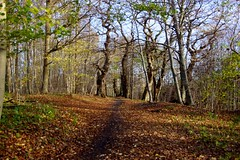 A walk in the woods (osto) Tags: denmark europa europe sony zealand scandinavia danmark slt a77 sjlland osto november2015 alpha77 osto