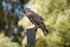 Barking Owl (emmoff) Tags: birds healesvillesanctuary owl zoos barkingowl