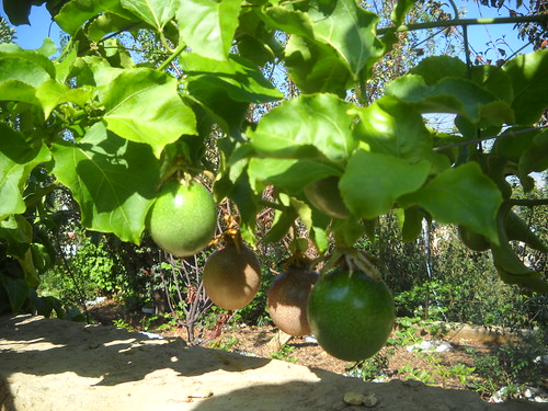 Passion Fruit Ripe & Green Large Fruit and qty a Oct 12, 2015