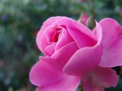 Rose im Garten // Rose in the garden (andromeda201113) Tags: flowers red sun sunlight flower rot rose garden blossom outdoor sommer pflanze rosa blume blte sonne garten schrfentiefe lumen sonnenlicht supershot macroelsalvador