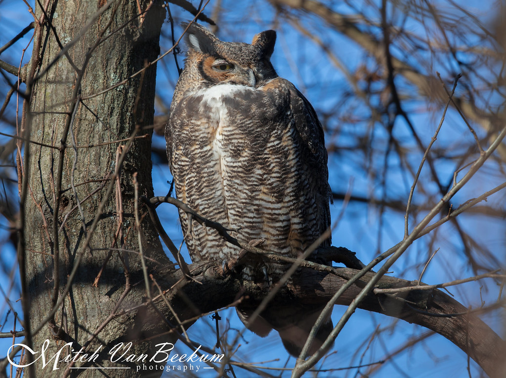 """Stink Eye"" - Female Great Horned Owl"