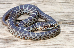 eastern yellow-bellied racer (Coluber constrictor flaviventris) (Michael Cravens) Tags: yellow belly eastern bellied racer yellowbellied coluber constrictor flaviventris yellowbelly