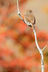 CHUNCHO (Glaucidium nanum), AUSTRAL PIGMY OWL. (Sergio Bitran M) Tags: chile bird ave torresdelpaine torres paine rapaz 2013 chuncho estrigiformes glaucidiumnamun australpigmy