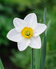 Daffodil (master Doratan) Tags: flower spring may daffodils narcissus 2015 нарцисс