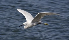 White heron in flight over  Luanda harbour (D70) Tags: africa white heron harbour flight over angola luanda