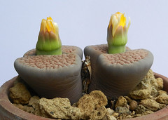 Lithops hookeri. [vermiculate form, C 336, South Africa, 45 km SSW of Prieska] (1) (Succulents Love by Pasquale Ruocco (stabiae)) Tags: southafrica succulent lithops mesembryanthemum namibia mimicry succulents stabiae mimetismo piantegrasse aizoaceae succulente mesembryanthemaceae cactusco mesembs fulviceps floweringstones sassifioriti pasqualeruocco mesembryanthema succulentslove forumcactusco