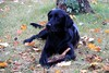Penny for your thoughts (SamSpade...) Tags: autumn black fall labrador retriever logan pennyforyourthoughts 574 6269 151025