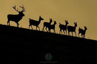 Red Deer Heard Backlit 4th October C