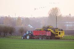 3U4A1495 (Bad-Duck) Tags: vinter traktor mat ropa hst ker betor maskiner kvll skrd flt jordbruk grda lantbruk rstid livsmedel sockerbetor fltarbete livsmedelsproduktion betupptagare omstndigheter
