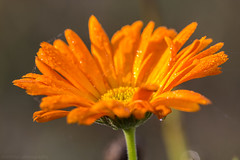 Orange December Flower I (boettcher.photography) Tags: orange flower nature december blossom natur dezember blüte 2015 bume sashahasha boettcherphotography