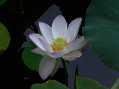 Nelumbo nucifera (Lotus flower) (TPittaway) Tags: lotusflower nelumbonucifera oriolessinginginthewillows westlake hangzhou zhejiang china nelumbonaceae tonypittaway september2016 flowers