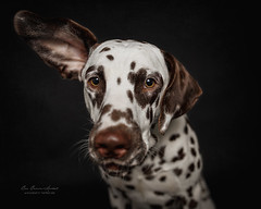 Can you hear the weekend calling? (Bea Burin-Herbst | Fotografie) Tags: dog dalmatian dalmatiner hund rde dogs hunde doggy pet petphotographer petphotography pets haustier haustierfotografie haustierfotograf puppy welpe studio indoor portrait lovely cute