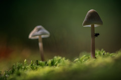 ...Fliegenpilz... (rhonz.photo) Tags: pilz fliege natur makro pilze wald wildlife canon tamrom 90mm moos