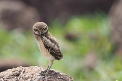 The Closer (geelog) Tags: burrowingowl owl stare eyes