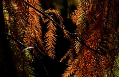 Inner Cypress (jrussell.1916) Tags: leaves cypresstree rustic orange green autumn autumncolors canonef70200f4lis14tc nature