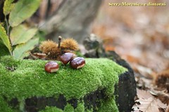 It's  chestnuts time! (Fabrizio Malisan Photography @fabulouSport) Tags: montagne montagna alps mountain fort forst forest woods wood sottobosco boschi bosco natural food mousse muschio muschi chataignes castagne colours colori verde green moss chestnuts naturaleza natur natura nature