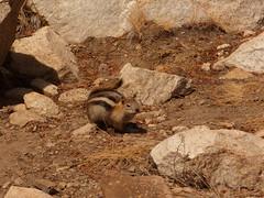 Golden-mantled Ground Squirrel (NKSwampie) Tags: 2016 20thseptember california goldenmantledgroundsquirrel september yosemite wisebirding