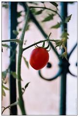Cherry tomatoes on the balcony (Ігор Кириловський) Tags: fujicolorindustrial100