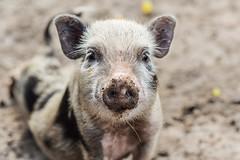 Never mind a little dirt... (marionrosengarten) Tags: pig piglet dirt dirty nose eyecontact face lookingatyou zoo fasanerie tierpark animalpark animal mud muddyground nikon makro tamron sp90mmf28divcusdmacro11