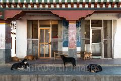 Butcher shop (whitworth images) Tags: dogs hungry cement asia stray paro himalaya shop city canine wishing bhutan meat door himalayas verandah veranda food traditional outside travel banished town butcher hopeful animals concrete village store bhutanese parodzongkhag