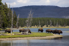 (Molly Sanborn) Tags: yellowstone national park wyoming travel nature explore bison buffalo graze river water wildlife animals
