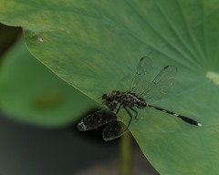 Wild, Wild Life (Robert-Ang) Tags: dragonfly bee wildlife nature japanesegarden singapore predator lotus leaf green